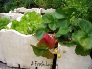 Cây cảnh - Vườn - Cách trồng rau sạch trong thùng xốp đơn giản