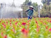 Tin trong nước - Tất bật trên những vựa hoa Tết ở Sài Gòn