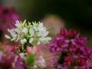 Tin tức - Đẹp mê hồn sắc màu hoa Túy Điệp