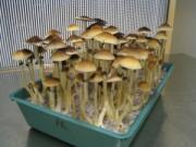 Cây cảnh - Vườn - 2 tuần trồng nấm sạch lên vùn vụt bằng bã cà phê