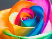 Nhà đẹp - Không cần bỏ triệu đồng có ngay hoa hồng bảy sắc