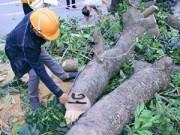 Tin tức - Hàng loạt cổ thụ đường Nguyễn Trãi - Trần Phú bị đốn hạ