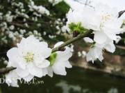 Nhà đẹp - Hoa đào trắng tinh khiết sẽ xuất hiện tại chợ hoa Thủ đô
