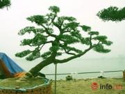 Nhà đẹp - Ngắm vườn tùng bạc tỷ lớn nhất Hà Nội