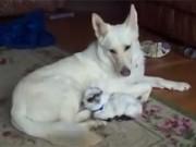 Clip Eva - Cún mẹ vui vẻ khi chăm sóc chú dê con