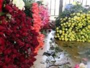 Mua sắm - Giá cả - Hoa hồng Đà Lạt lên cơn sốt