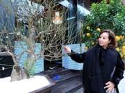 Nhà đẹp - Đào tuyết cổ thụ độc nhất của nữ đại gia Hà thành