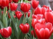 Trang trí nhà cửa - Tulip Việt giá 30 nghìn hút người mua