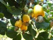 Mua sắm - Giá cả - Bình Phước: Người trồng điều ăn Tết vội