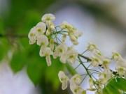 """Tin tức - Hà Nội """"nhuộm"""" trắng mùa hoa sưa"""