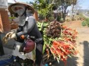Kinh nghiệm mua - Nông dân cắn răng nhổ hoa lay-ơn cho bò ăn