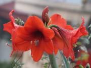 Nhà đẹp - Trồng hoa lan huệ thơm ngát mê ly