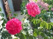 Cây cảnh - Vườn - Vườn hoa ban công cô gái nhỏ trồng tặng mẹ đã khuất