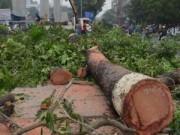 Tin trong nước - Hà Nội quyết định dừng chặt hạ 6.700 cây xanh