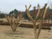 Chuyện chăm và bảo vệ cây ở Hàn Quốc