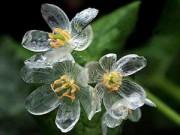 Nhà đẹp - Độc đáo hoa trắng chuyển trong suốt khi trời mưa