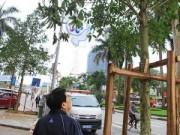 Đường Nguyễn Chí Thanh được thay cây mới lần 2
