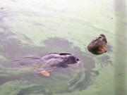 Giống rùa Hoàn Kiếm từng được nhân giống