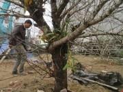 Mua sắm - Giá cả - Một cành đào Lào nhập vào Việt Nam giá hơn 30 triệu đồng