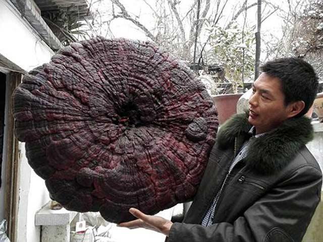 Cận cảnh cây nấm linh chi nặng 4,3kg, to như cái ô