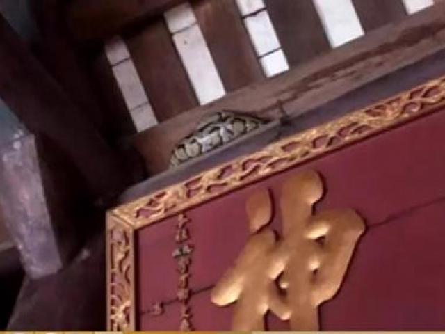 Hãi hùng nhìn con trăn mắc võng trên ngôi đền ở Nam Định
