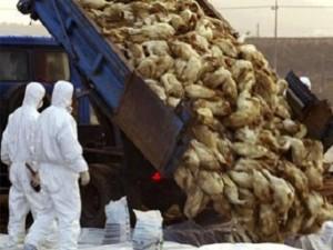 Theo dõi sát sao 70 người tiếp xúc với gia cầm nhiễm cúm A/H5N1