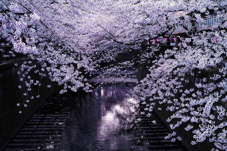 """Hoa anh đào có sức sống mãnh liệt là loài hoa đặc trưng cho cốt cách và tâm hồn người Nhật. Hằng năm, cứ mỗi độ xuân về du khách cũng như người dân Nhật Bản luôn háo hức chờ đợi lễ hội """"Hanami"""" dịch ra tiếng Việt nghĩa là ngắm hoa. Lễ hội ngắm hoa có nhiều nhưng đặc trưng nhất vẫn là lễ hội ngắm hoa anh đào """"Sakura""""."""