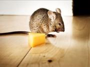 Nhà đẹp - Bốn bước hiệu quả cho nhà chẳng còn chuột gặm nhấm
