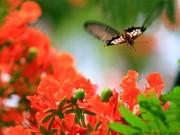 Tin tức - Đầu hè ngắm hoa phượng vĩ đỏ rực trời Thủ đô