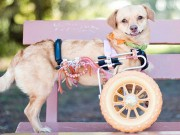 Chú chó khuyết tật sống hạnh phúc trên xe lăn