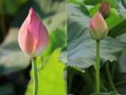 Nhà đẹp - Tinh mắt chọn hoa sen chuẩn, tránh 'mua quỳ với giá sen'