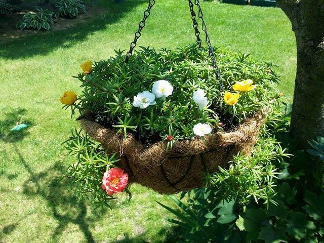 Mách nhỏ cách trồng và chăm hoa mười giờ nở đẹp, sai hoa