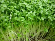 Nhà đẹp - Mẹ Lào Cai trồng rau mầm kín bậu cửa sổ cho chồng con