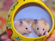 Nhà đẹp - Loài chuột kiểng khiến giới trẻ Thủ đô thích mê đẹp cỡ nào?