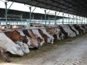 Mua sắm - Giá cả - Đua nhập bò Úc giá bèo 3USD/kg về vỗ béo bán thu siêu lợi nhuận