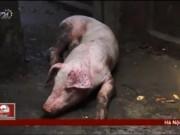 Thâm nhập cơ sở phù phép lợn bệnh thành lợn mán