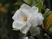 Nhà đẹp - 10 loài hoa nên trồng giúp nhà thơm ngất ngây