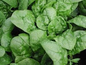 Mẹo hay tự trồng rau cải bó xôi, ngừa ung thư cho cả nhà