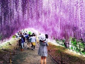 Choáng ngợp không thốt nên lời trước vẻ đẹp lộng lẫy trong hầm hoa tử đằng ở Nhật Bản