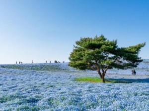 Say đắm trước hàng triệu bông hoa mắt xanh bung nở ở Nhật