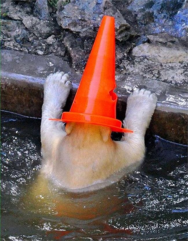 Chú gấu Bắc Cực 8 tháng tuổi rúc đầu vào miếng nhựa tránh nắng tại vườn thú Brno ở Brno, Cộng hòa Séc.