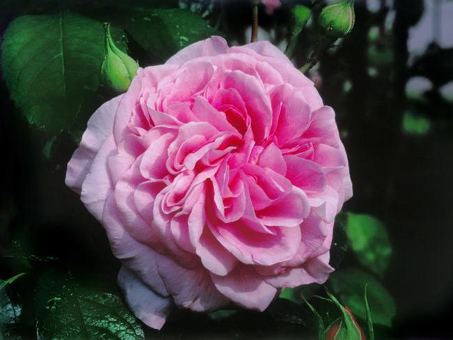 Những nụ mới nhú của hồng Gertrude Jekyll được đánh giá là hoàn hảo với những cánh hoa cuộn đẹp mắt. Sau đó, chúng nhanh chóng nở thành những bông hoa lớn có màu hồng vân anh bắt mắt. Giống hồng Gertrude Jekyll được đặt theo tên người làm vườn nổi tiếng, bà có ảnh hưởng sâu sắc đến phong cách vườn nước Anh cho tới tận ngày nay.