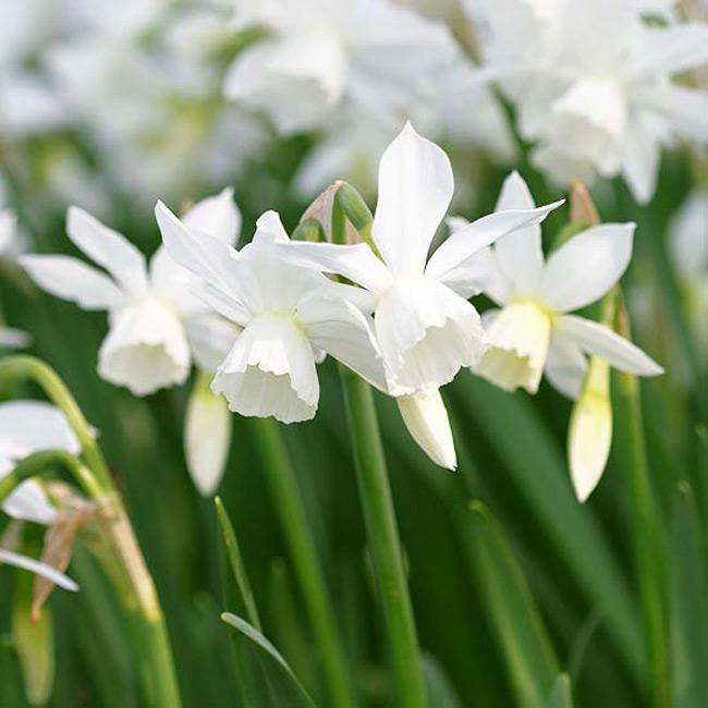 """Hoa thuỷ tiên Thalia. Bởi vì rất dễ dàng say đắm với """"Thalia"""" nên không có gì thắc mắc khi loài hoa này nổi tiếng từ đời này qua đời khác kể từ năm 1916 cho đến nay. Loài hoa này vinh dự được ban cho vẻ đẹp của những cánh hoa trắng tinh khiết đáng yêu và có mùi hương thơm ngát đặc biệt sẽ thu hút giác quan của bạn.  Tên khoa học: Narcissus 'Thalia'"""