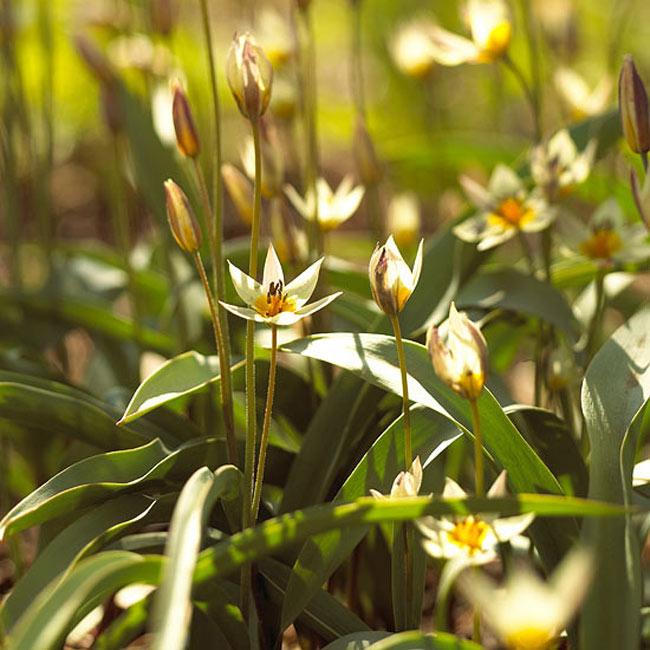 """Hoa tulip """"turkestanica"""". Bạn có thể tin tưởng rẳng loài hoa tulip dại này sẽ quay trở lại hằng năm dù cho mùa hè có khô hạn đến đâu hay mùa đông có lạnh như nào đi chăng nữa. Mỗi một cành cây có một số lượng lớn những bông hoa màu vàng nhạt trông giống như những chú bướm đang bay nhảy đùa giỡn trong gió.  Tên khoa học: Tulipa turkestanica"""