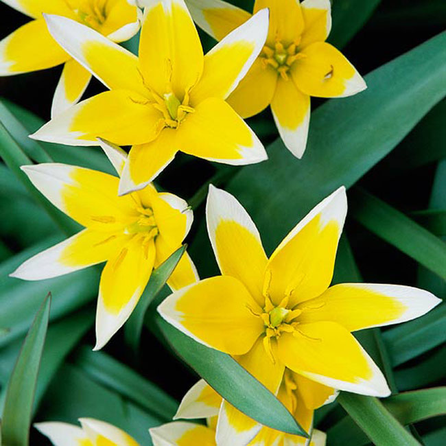 """Hoa tulip """"tarda"""". Loài hoa tulip thấp bé đặt biệt này sản xuất ra những cánh hoa màu vàng và khi những bông hoa trải rộng ra trông chúng như bị nhấn chìm trong một trang trại làm kem tươi. Là một loại hoa tulip dại, nó thực sự có một cuộc sống vĩnh hằng và sẽ rất hoàn hảo khi trồng ở những đường biên giới hay những bãi đá.  Tên khoa học: Tulipa tarda"""