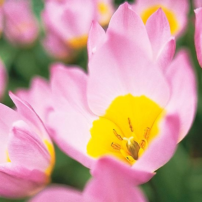 Hoa tulip 'Lilac Wonder'. Viên đá quý bé nhỏ này là một loài hoa tulip dại có một cuộc sống lâu dài. Nó nở ra những bông hoa nhỏ có màu hồng tím hoa cà cùng với phần trung tâm là màu ánh vàng đầy rực rỡ và với kích thước bé nhỏ và e lệ của nó thì thật hoàn hảo khi trồng ở đằng trước hàng rào ở nhà hay là dọc theo hành lang hiên nhà.  Tên khoa học: Tulipa bakeri 'Lilac Wonder'