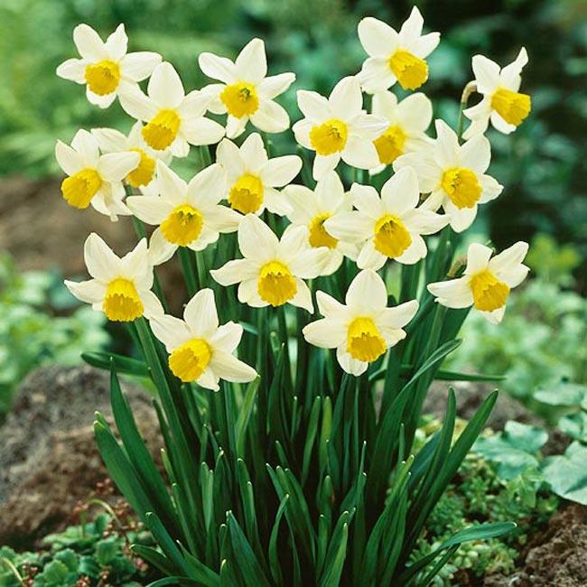 """Hoa thuỷ tiên 'Jack Snipe'. """"Jack Snipe"""" là loài hoa thuỷ tiên bé nhỏ đầy hân hoan nở ra với những cánh hoa vàng và trắng. Nó là loại cây trồng phát triển mạnh mẽ và nở sớm đầy bất ngờ, sản xuất ra rất nhiều phấn, có một nét thanh nhã đặc trưng với những cánh hoa uốn cong ra phía sau.  Tên khoa học: Narcissus 'Jack Snipe'"""