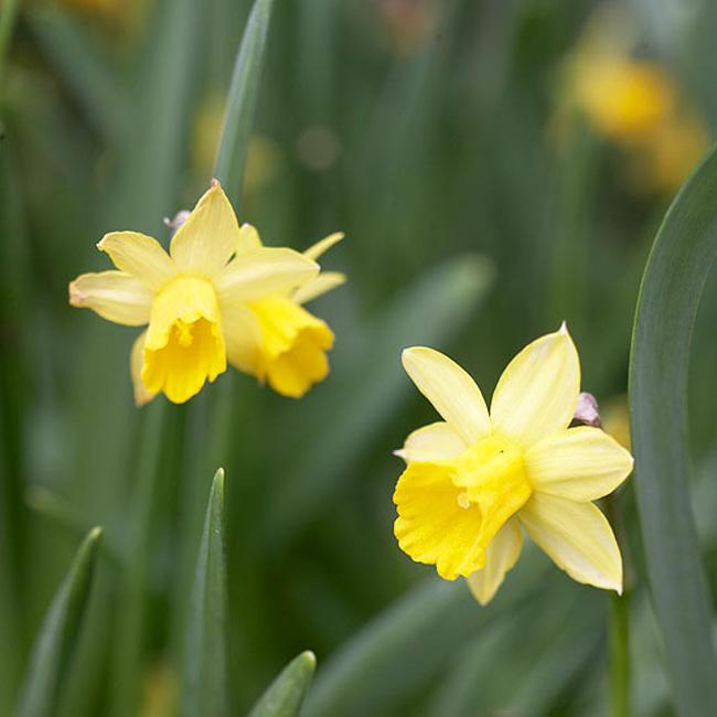 """Hoa thuỷ tiên """"Tete a Tete"""". Đây là một trong những bông hoa thuỷ tiên được trồng sớm nhất, những bông hoa thủy tiên tạo ra một tấm thảm toàn màu vàng. Nó là một bức tiểu họa đa dạng với một vài bông hoa tuyệt diệu với những cánh hoa màu vàng nghệ tím trên một nhành hoa. Tuổi thọ của hoa cũng rất là dài và nó cũng có thể tự chống được sâu bệnh.  Tên khoa học: Narcissus 'Tete a Tete'"""