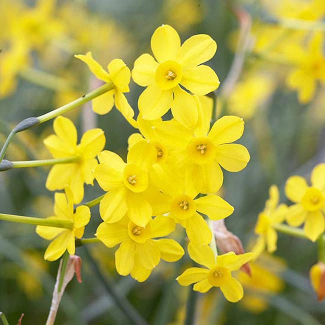 """Hoa thuỷ tiên """"Baby Moon"""". Mặc dù trông những bông hoa """"Baby Moon"""" rất mỏng manh và thanh nhưng nó là loại thực vật sống rất bền bỉ. Đây là loài hoa nở trong bóng râm và nó có những hoa cánh hoa nhỏ màu vàng cùng với một hương thơm ngào ngạt.  Tên khoa học: Narcissus 'Baby Moon'"""
