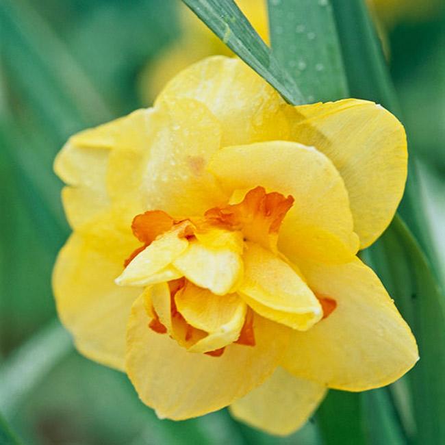 """Hoa thuỷ tiên """"Tahiti"""". Với một màu ấm nóng, loài hoa này gợi nhớ đến hòn đảo nhiệt đới """"Tahiti"""" nơi người ta đã mang loài hoa này đến với mọi người. Cây ra hoa hai lần trong bóng râm với những màu vàng, cam và đỏ. Nó sinh sôi nảy nở hầu hết tất cả các thời gian và xứng đáng được trưng bày hàng năm.  Tên khoa học: Narcissus 'Tahiti'"""